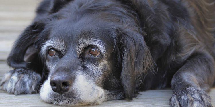 canine Alzheimer